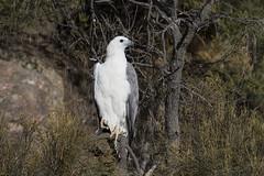 White-bellied Fish Eagle (Baractus) Tags: whitebellied sea eagle john oates freycinet national park tasmania australia inala nature tours saffire schouten island fish