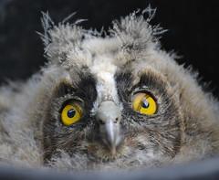 BÚHO CHICO - Asio otus (Thinks in Green) Tags: chico búho owl asio otus almendralejo badajoz ave rescatar pollo párpado especial sigma 150600 baby ngc