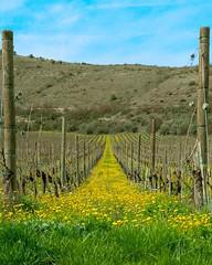 Vigna (DarioMarulli) Tags: nikonclub nikon 18105 d3200 italiaitaly abruzzo l'aquila yellow giallo vigneto vigna