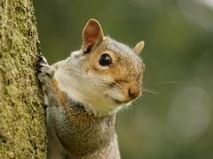 Squirrel (PhotoLoonie) Tags: squirrel greysquirrel animal wildlife nature mammal
