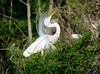 Great Egret aigrettes (DigitalLyte) Tags: greategret greatwhiteegret male breedingplumage plumage aigrettes rookery courtship display highisland audubon smithoaksrookery highislandsanctuaries texas tx territorial