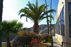 Palms (BudCat14/Ross) Tags: palms trees burbank california