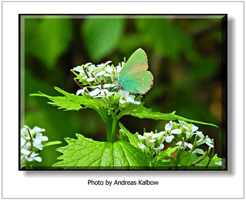 Andreas Kalbow Brombeerzipfelfalter Callophrys rubi 2018.04.27 Große Torfmoor (2)