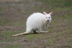 Bébé wallaby de Bennett albinos (Passion Animaux & Photos) Tags: wallaby bennett albinos albino redneckedwallaby micropus rufogriseus parc auxois france