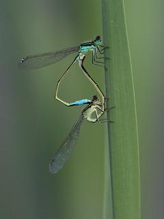 Codazzurra comune (ischnura elegans)