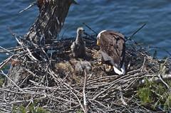 Inquisitive (Snixy_85) Tags: eagle baldeagle haliaeetusleucocephalus eaglets nest