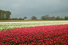 Dutch Spring (romanboed) Tags: leica m 240 summilux 50 europe netherlands holland dutch flower fields flowers field farm agriculture agribusiness spring jaro holandske kvetiny jarni tulips tulipany rain clouds