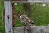 Little Owl (MV Photography (900,000 + Views)) Tags: canon 7d nature wildlife bird birdofprey little owl