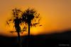 Coucher de soleil pour un couple de pissenlit (christian.rey) Tags: pissenlit dentdelion macro coucherdesoleil soleil coucher sunset sigma 105 sony a7r2 a7rii