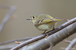 No Jewels (Ruby-Crowned Kinglet)