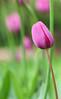 180501-20 (cedric vis) Tags: flower fleur pink rose tulip bokzh proxi blue bleu yellow jaune orange