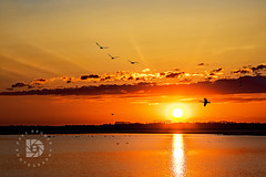 Evening Flight - #399 (DBruner240) Tags: ducks geese swan nd north dakota sunset sundown flying sun ngc national geographic