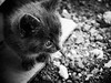 3745 - Tito (Diego Rosato) Tags: tito gatto cat kitten gattino pet animale animal bianconero blackwhite fuji x30 rawtherapee