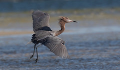 Reddish Egret (Gary McHale) Tags: reddish egret flying flight fort myers florida gary mchale coth coth5
