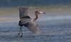 Reddish Egret (Gary McHale) Tags: reddish egret flying flight fort myers florida gary mchale coth coth5