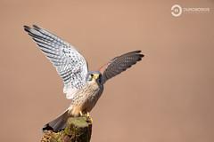 Kestrel (Falco tinnunculus) (Ouroboros Photography) Tags: bird birdofprey falcotinnunculus falcon farmland kestrel nature naturephotographyhides spring unitedkingdom wildife worcester