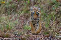 Royal Bengal Tiger - Sharmili Cub!!(_EJ1C6725) (Anupam Dash Photography) Tags: anupam anupamdashphotography anupamdash adult aplusphoto beauty canon camera colors color clouds canon1dmarkiv colourartaward nature naturesfinest naturephotography north wildlife wild wildlifephotographer water workshop indian india is royalbengaltiger mammals mammalsofindia mammal