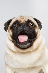Sh** just got real! (KevinBJensen) Tags: pug shocked shit just got real snap snapping snapshot portrait studio dog dogs photographer photography photo picture emotion character personality pet pets