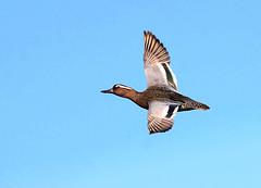 Gargeney Action (Ger Bosma) Tags: 2mg269714filtered zomertaling anasquerquedula garganey knäkente sarcelledété cercetacarretona marzaiola flight wings duck summer fast action flying