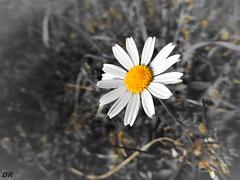 camomille fleur (danie _m_) Tags: naturepic wildflower lovenature flowerspower beautiful macro flower springtime nature fleur printemps