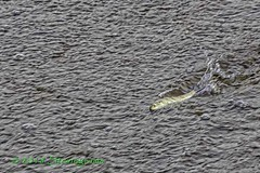 IMG_8123-Alewife swimming upstream (LindaSbird) Tags: fish herring alewife