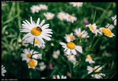 Daisies (Falcdragon) Tags: zeissloxia2821 sonya7riialpha ilce7rm2 forest nature sarttilman liège belgium universityofliege green flowers insects