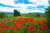 Далекопроводи и макове (sevdelinkata) Tags: sky field grass flower poppy bulgaria