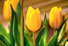 Yellow Tulip means... (paweesit) Tags: tulip yellowtulip yellow flower flora color petals stems