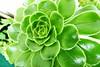 Green (aNNa schramm) Tags: planze grün green sukkulente flora flower pflanze rosette