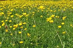 A field of golden buttercups (katy1279) Tags: buttercupsgoldenyellowsummersunshine