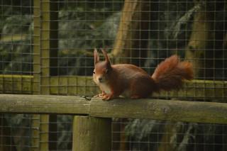 British Wildlife: Red Squirrel