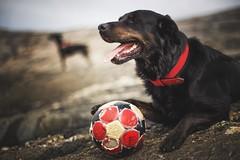 Bosse (Frank S. Schwabe) Tags: dog dogs ball bythesea canon zeiss zeissclassic planart1450 ze bokeh