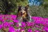 19/52 Leia & spring colours (shila009) Tags: leia dog perro roughcollie smile pink purple spring portrait 1952 happy flowers flores retrato
