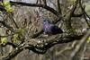 Pigeon (cécilelamoureux) Tags: pigeon oiseau bird sauvage wild animal canon sigma