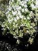 Everlasting bush in flower, Royal Botanical Gardens, Winter 2018 (d.kevan) Tags: parksandgardens botanicgardens royalbotanicalgardens madrid spain plants shrubs flowers everlasting