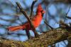 Love Songs (NaturalLight) Tags: male cardinal red chisholmcreekpark wichita kansas
