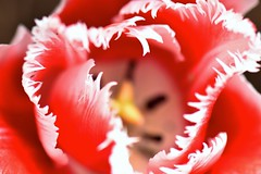 a little edgy this morning (Rene' Slack) Tags: tulips tulip flowers macro red nikon d7200 slackadventure shiraz