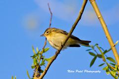 IMG_6184 (nitinpatel2) Tags: bird nature nitinpatel