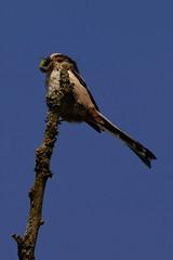 DSC09161 - Long tailed Tit (steve R J) Tags: long tailed tit benfleet downs essex birds british feeding