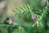 S'accrocher (Chamaloote & Fabrizio) Tags: feuille fleur rampante nature macro vert herbe violet