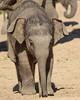asiatic elephant Planckendael BB2A8133 (j.a.kok) Tags: olifant aziatischeolifant asiaticelephant elephant animal asia azie mammal zoogdier dier planckendael planckendaell herbivore