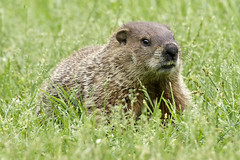 Groundhog (Steve Gifford - IN) Tags: groundhog woodchuck hueston woods state park preble butler county oh ohio steve steven gifford oxford photo photograph picture nature wildlife bird