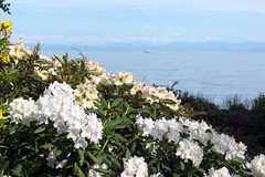 Rhododendron at the Lake Shore (Bephep2010) Tags: 2016 77 alpha blume blüte bodensee constance deutschland frühling germany insel konstanz lakeconstance mainau makro rhododendron sal50m28 slta77v see sony ufer blossom flower island isle lake macro shore spring weiss white badenwürttemberg de