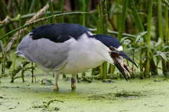 Black-crowned Night-Heron (Trent Bell) Tags: bonelliregionalpark sandimas california birdwatching bonellipark bird socal 2018 blackcrownednightheron