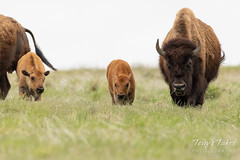 Bison calves and their mamas