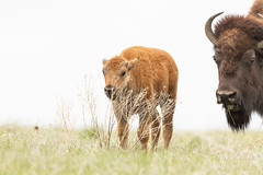 Bison calf's picture photobombed by mom