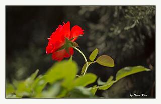 SHF_6682_Rose