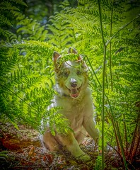 The Beast (Chris Willis 10) Tags: collies omar puppy star trickywood dog pets animal cute purebreddog canine outdoors mammal grass nature domesticanimals friendship younganimal greencolor summer looking sitting animaltongue playful ferns fronds