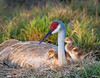 Surrounding Mom (dubrick321) Tags: birds sandhillcrane sandhillcranes babysandhillcranes sandhillcranecolts sandhillcranenest