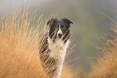 A Lookout (JJFET) Tags: border collie dog sheepdog herding